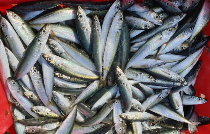 Bình Định: Ngư dân trúng lớn cá nục dù giá giảm 50%