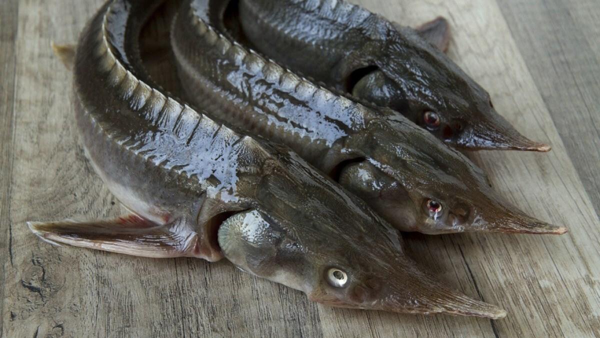 Cá Tầm Sapa giảm mạnh, người dân tranh thủ ăn 'sang'