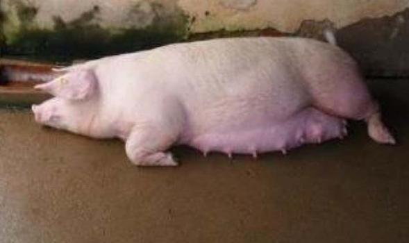 Cách kích thích cho lợn nái mau đẻ hiệu quả nhất từ chuyên gia thú y