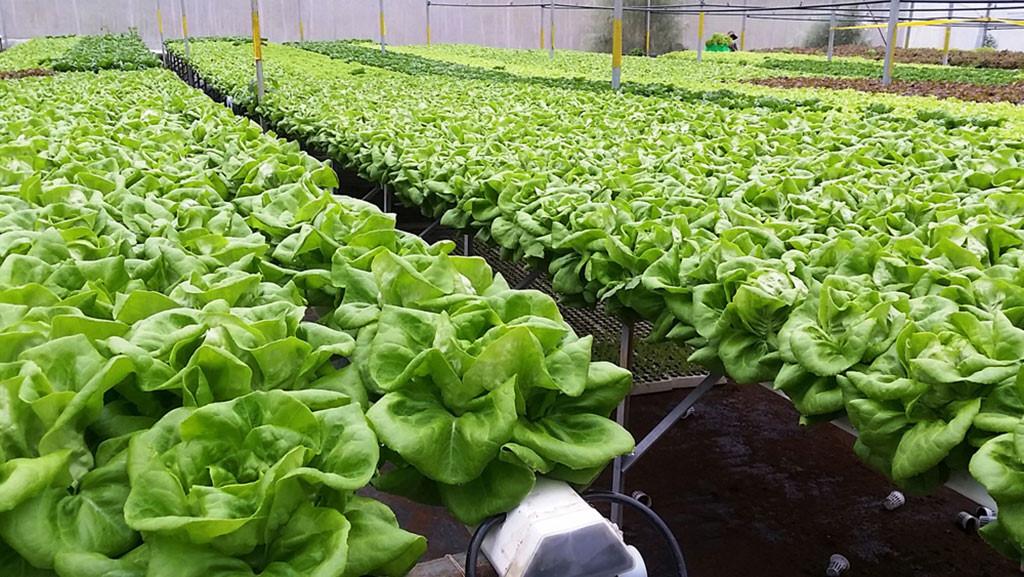 Đà Lạt: Rau xanh, hoa tăng giá gấp 2 - 3 lần, nông dân phấn khởi