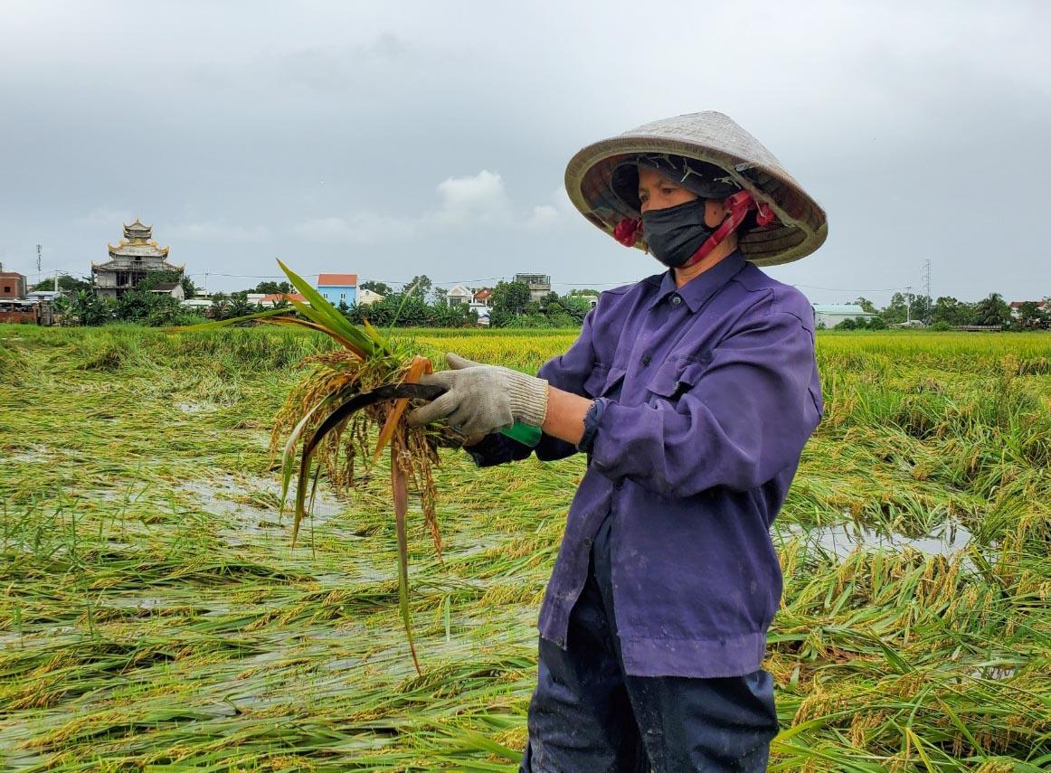 Đà Nẵng: Dịch bệnh đã quá khổ, ráng chăm vụ lúa thì lại mất trắng do bão số 5