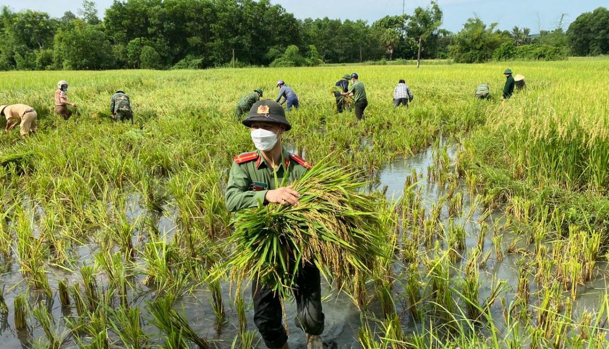 Đà Nẵng, Thanh Hóa, Nghệ An nhanh chóng gặt lúa, hoa màu chạy bão Conson