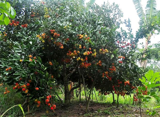 Đồng Nai: Chôm chôm rớt giá chỉ còn 1.000 ᵭ/kg, chín rụng khắp vườn vẫn không có người mua