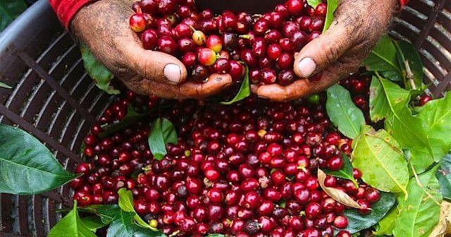 Giá cà phê hôm nay 23/10: Tăng tiếp 100 đồng/kg, thị trường thế giới dao động trái chiều
