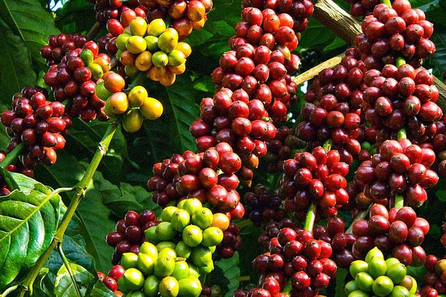 Giá cà phê hôm nay 25/10: Biến động trái chiều, trong nước tăng 100 đồng/kg