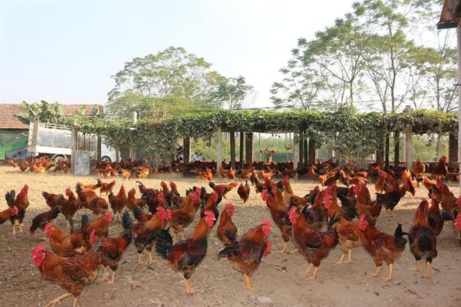 Giá gà hôm nay ngày 18/10: Có sự biến động không đáng kể ở một vài nơi