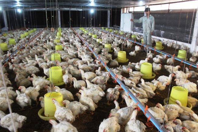 Giá gia cầm hôm nay 10/8: Giá gà chỉ còn 6.000 - 7.000 đồng/kg, giá trứng tăng cao trong mùa dịch Covid-19