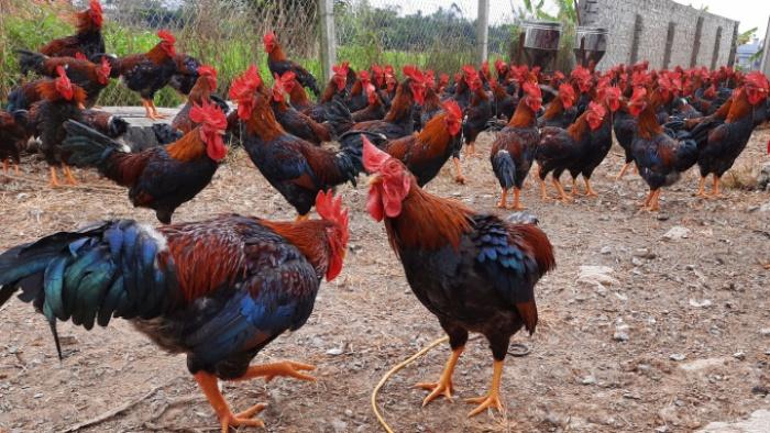 Giá gia cầm hôm nay 10/9: Giá gà, vịt đồng loạt tăng tại hai miền Bắc-Nam