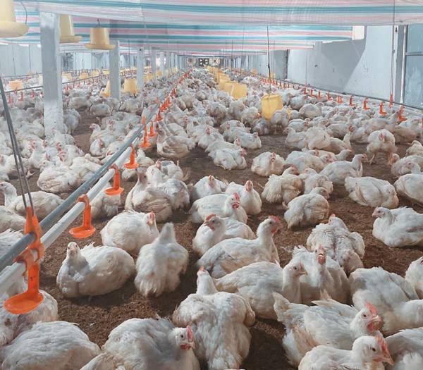 Giá gia cầm hôm nay 15/10: Giá gà thịt công nghiệp giảm sâu, chỉ còn dưới 20.000 đồng/kg