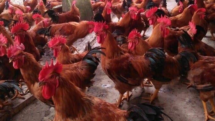 Giá gia cầm hôm nay 1/9: Tăng nhẹ, ĐBSCL hiện có hơn 9 triệu con gà chờ bán