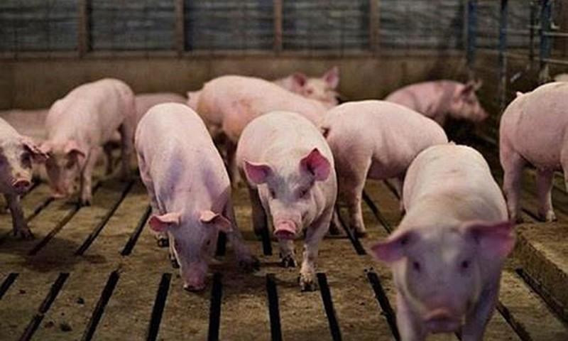 Giá heo hơi hôm nay 1/8: Tiếp tục giảm khiến người chăn nuôi lao đao