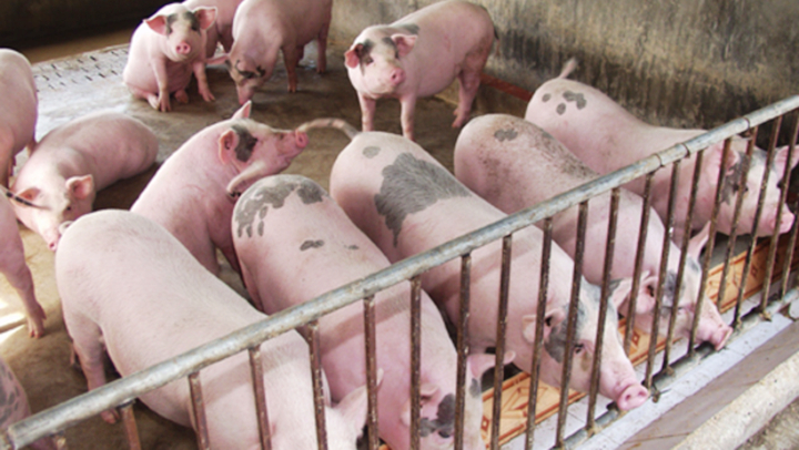 Giá lợn hơi hôm nay 28/10: Miền Bắc tiếp tục tăng sốc