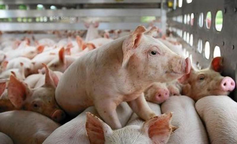 Giá lợn hôm nay ngày 27/10: Miền Bắc tiếp tục tăng thêm 1.000 - 5.000 đ/kg