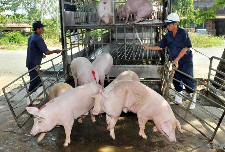 Giá lợn hơi ngày 16/10: Tiếp tục giảm tại nhiều địa phương trên cả nước