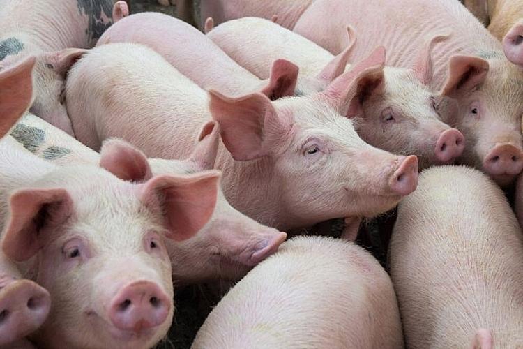 Giá lợn hơi ngày 18/10: Chững lại tại nhiều địa phương trên cả nước