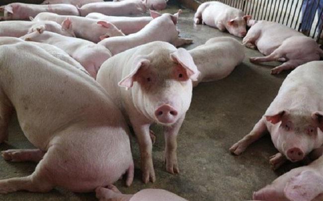 Giá lợn hôm nay 7/9: Tăng giảm trái chiều, Tuyên Quang thấp nhất cả nước với 49.000 đồng/kg.