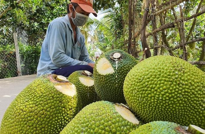 Giá mít Thái hôm nay 13/9: Đồng loạt giảm mạnh 2.000 đồng/kg do khâu vận chuyển khó khăn