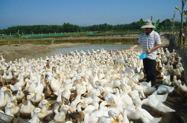 Giá ngan, vịt hôm nay ngày 27/10: Có sự chênh lệch không nhiều giữa các vùng