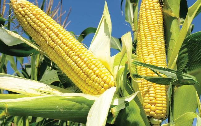 Giá ngũ cốc hôm nay 28/10: Giá ngô giảm mạnh