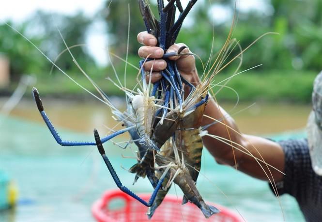 Giá tôm càng xanh, cua biển nuôi tại miền Tây đang giảm mạnh