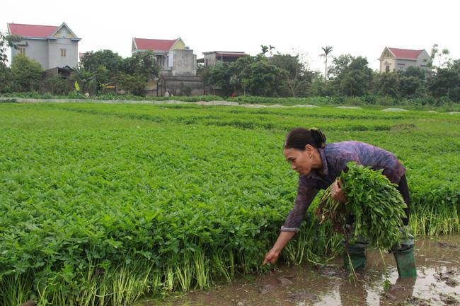 Hà Nội: Loại rau đặc sản, ăn giòn sật sật có giá trị kinh tế cao gấp nhiều lần so với trồng lúa
