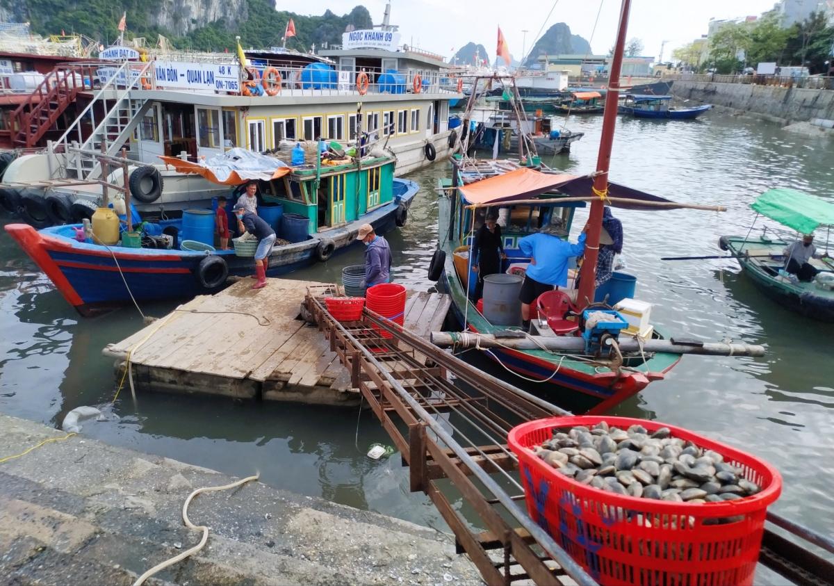 Hải sản liên tục rớt giá, ngư dân lao đao