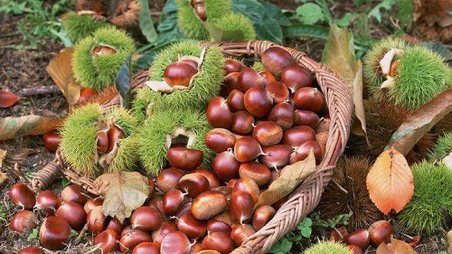 Hạt dẻ rang và trà cúc - món ăn không thể thiếu khi vào thu