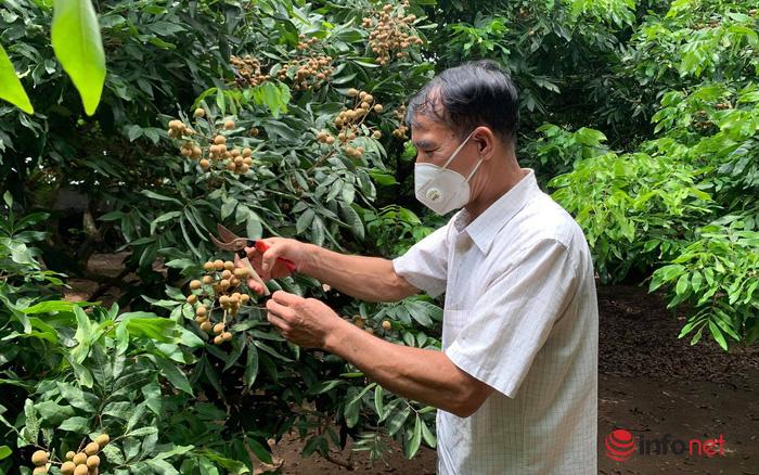 Hưng Yên: Nhãn mất mùa, mất giá mà đầu ra vẫn khó khăn