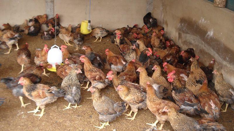 Kinh nghiệm nuôi gà ri và các mô hình làm giàu từ nuôi gà