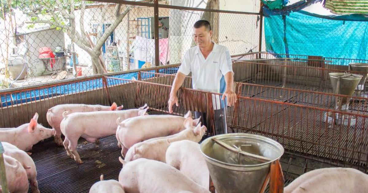 Kinh nghiệm nuôi lợn cỏ cho thịt ngon và đem lại giá trị kinh tế cao