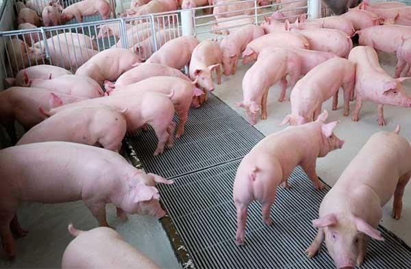 Kỹ thuật nuôi lợn thịt nhanh lớn, cho hiệu quả kinh tế cao