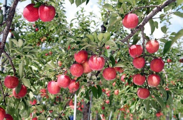 Lạc lối vào vườn táo ở Hàn Quốc, đẹp không muốn về