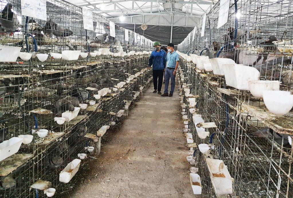 'Liều' vay 800 triệu đầu tư nuôi thứ chim đẻ sòn sòn, anh nông dân thu vài trăm triệu/năm