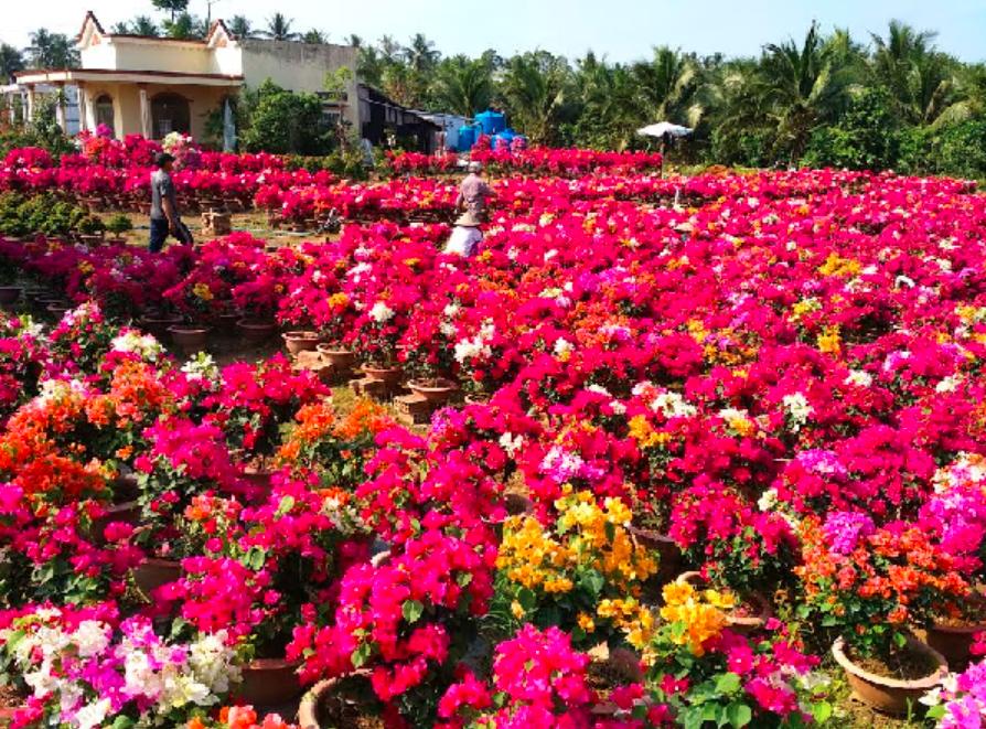 Lo lắng về đầu ra, Bến Tre vận động nông dân giảm diện tích trồng hoa Tết