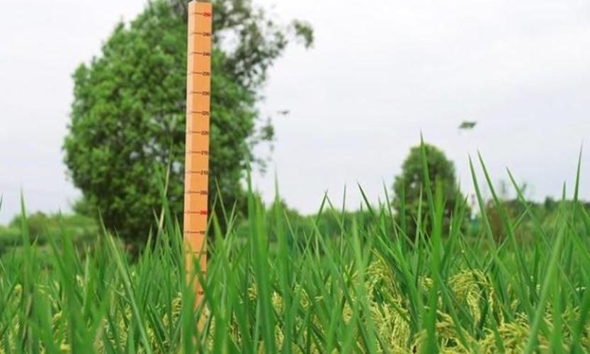 """Lúa """"khổng lồ"""" cao 2m ở Trung Quốc, chuyên gia Việt Nam nhận định gì về giá trị thu lợi?"""