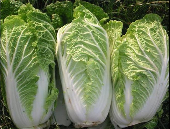 Mẹo nhận biết rau cải thảo sạch và rau cải thảo nhiều hóa chất độc hại