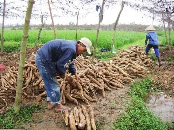 Quảng Bình: Hơn 1.000 ha sắn ngập úng cần thu hoạch ngay trong khi 2 nhà máy chế biến đang tạm dừng sản xuất