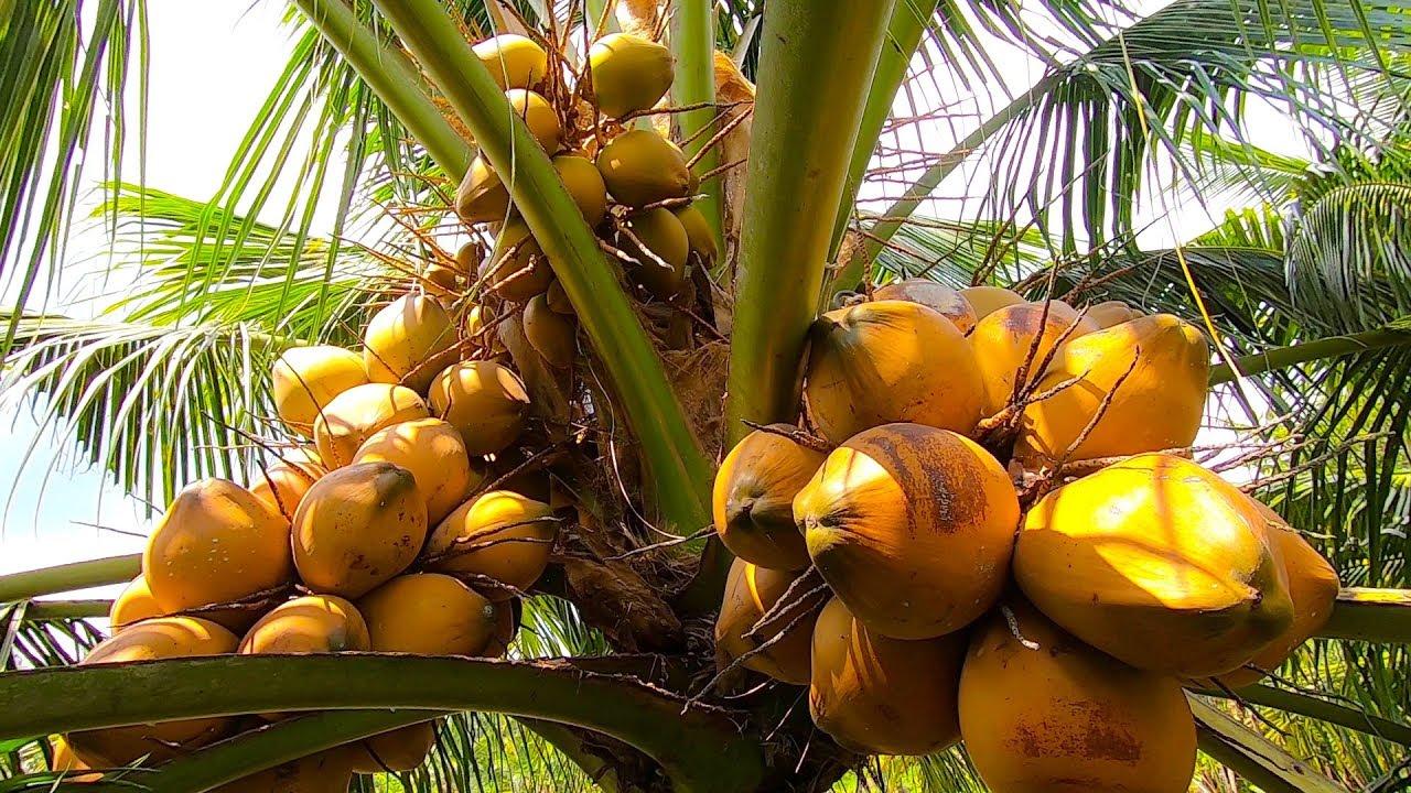 Tiền Giang: Ông nông dân kiếm tiền tỷ mỗi năm nhờ trồng dừa Xiêm lùn Mã Lai