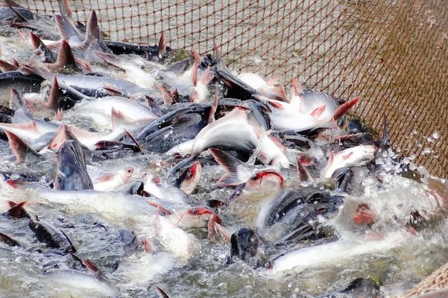 Xuất khẩu cá tra Việt Nam sang Mỹ tăng mạnh